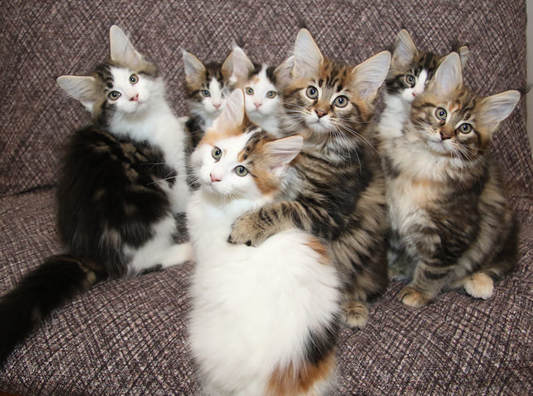 Sarajen Maine Coon Cats For Sale Maine Coon Kittens